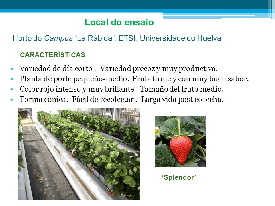 Horto do Campus La Rábida, ETSI, Universidade do Huelva Local do ensaio Variedad de día corto. Variedad precoz y muy productiva. Planta de porte peque
