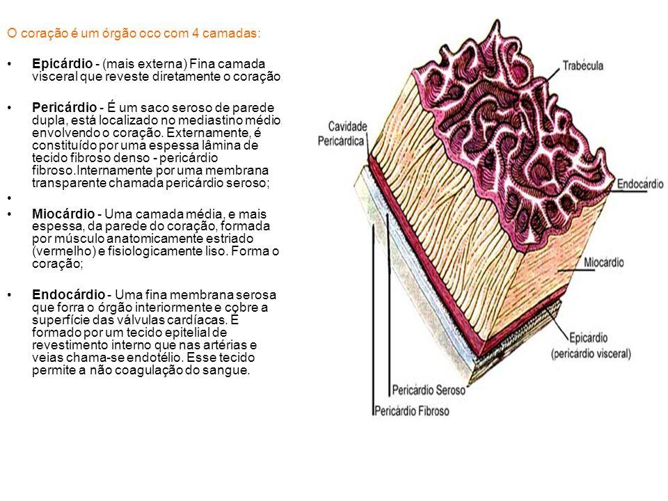 O coração é um órgão oco com 4 camadas: Epicárdio - (mais externa) Fina camada visceral que reveste diretamente o coração. Pericárdio - É um saco sero