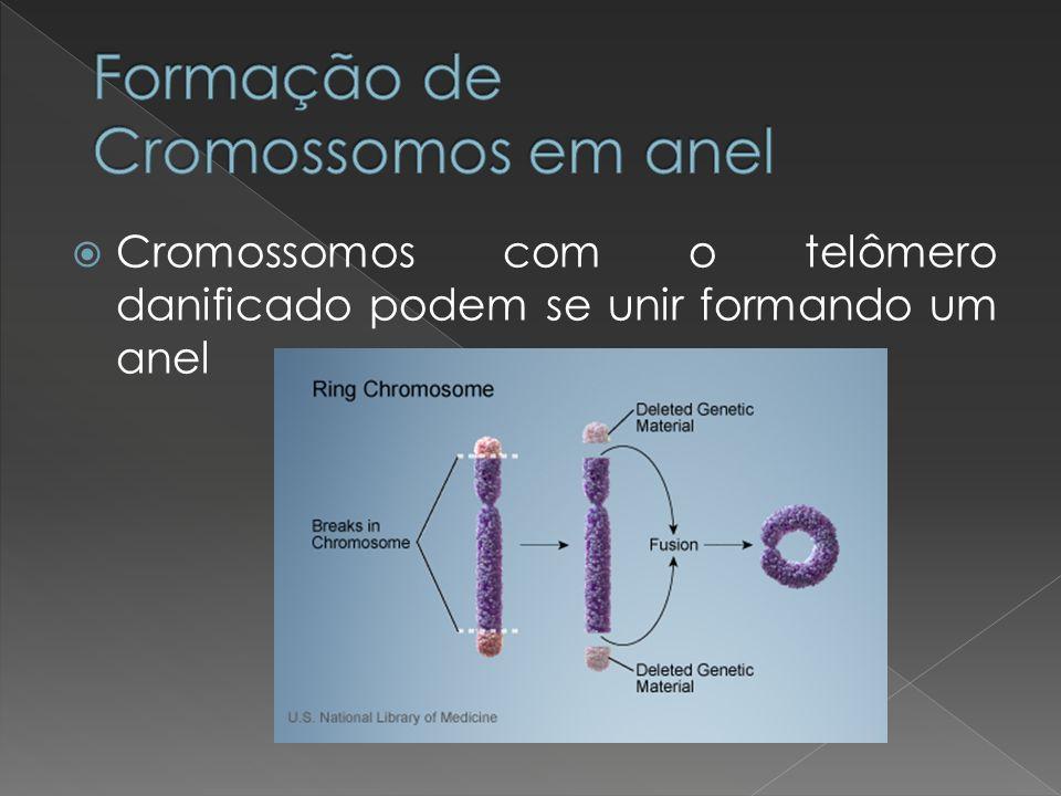 Cromossomos com o telômero danificado podem se unir formando um anel