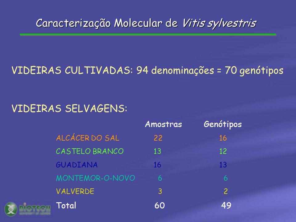 AmostrasGenótipos ALCÁCER DO SAL 22 16 CASTELO BRANCO 13 12 GUADIANA 16 13 MONTEMOR-O-NOVO 6 6 VALVERDE 3 2 Total 60 49 VIDEIRAS CULTIVADAS: 94 denominações = 70 genótipos VIDEIRAS SELVAGENS: Caracterização Molecular de Vitis sylvestris