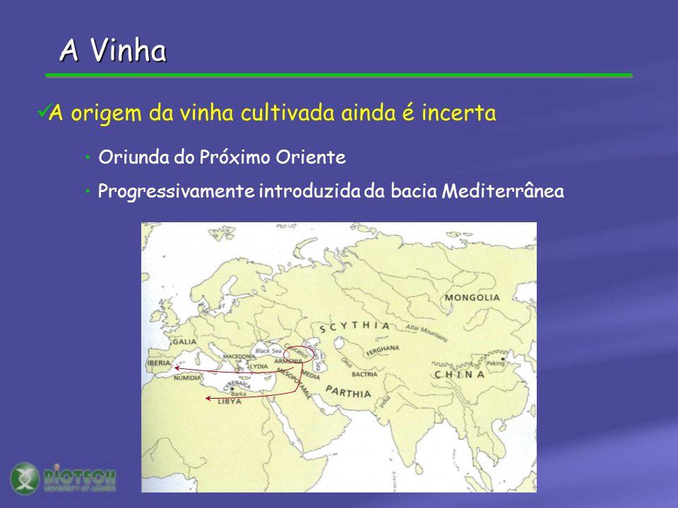 A Vinha Oriunda do Próximo Oriente Progressivamente introduzida da bacia Mediterrânea A origem da vinha cultivada ainda é incerta