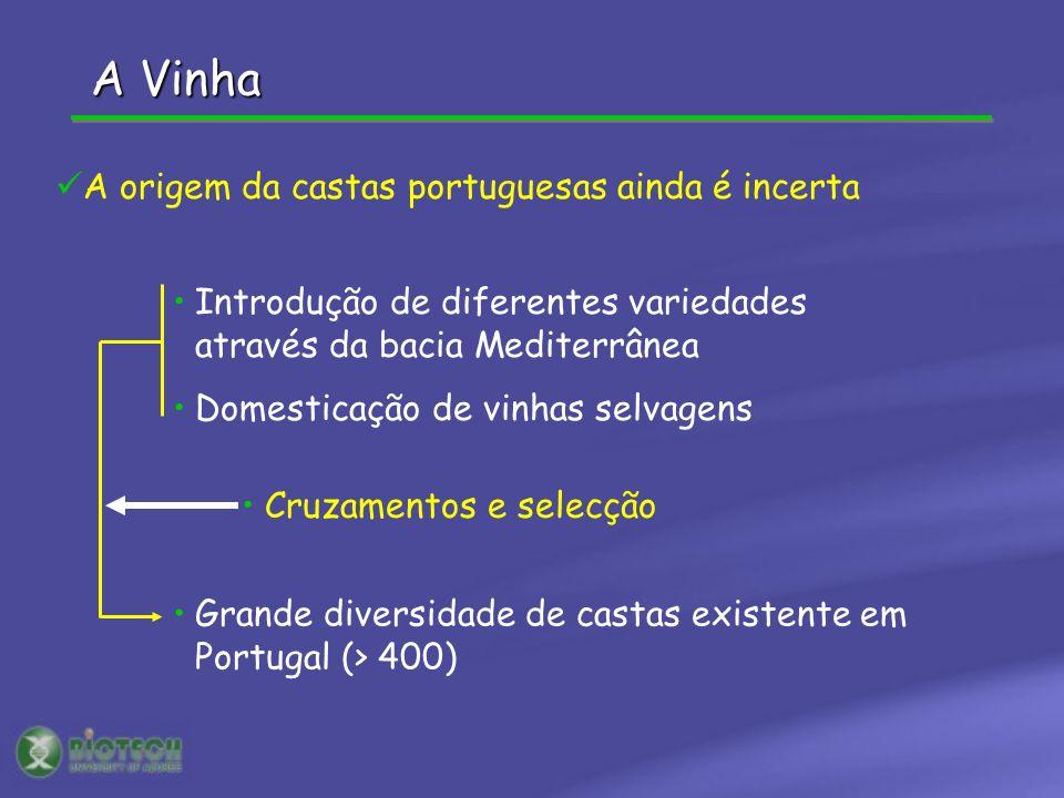 A Vinha Grande diversidade de castas existente em Portugal (> 400) Introdução de diferentes variedades através da bacia Mediterrânea Domesticação de v