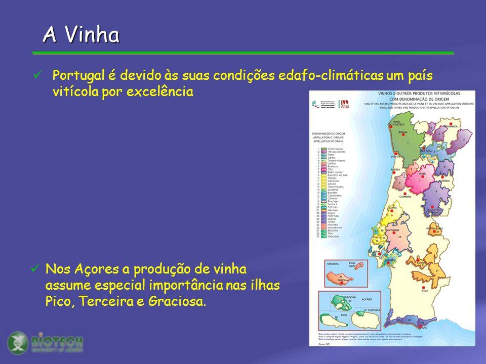 ALCÁCER DO SAL N=22 CASTELO BRANCON=13 GUADIANAN=16 MONTEMOR-O-NOVON=6 VALVERDEN=3 P1 P2 VIDEIRAS CULTIVADAS: 94 denominações VIDEIRAS SELVAGENS: 5 populações A Vinha