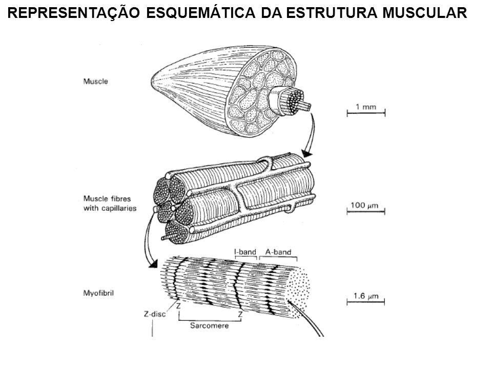 REPRESENTAÇÃO ESQUEMÁTICA DA ESTRUTURA MUSCULAR