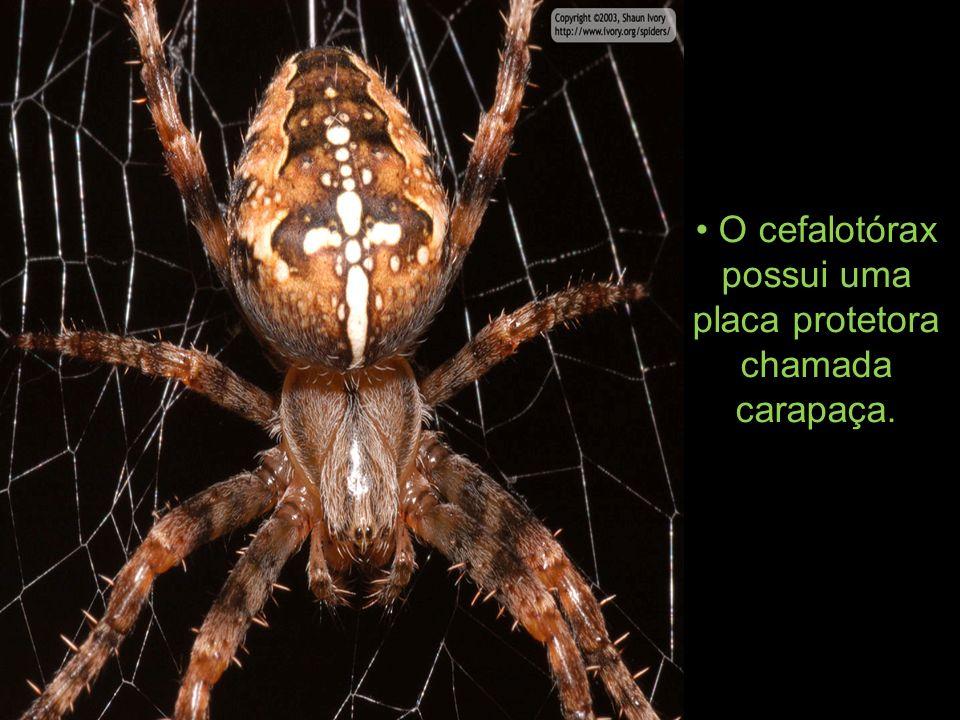 A aranha é coberta por uma cutícula dura de proteção,que constitui uma espécie de esqueleto externo feito de quitina (polissacarídeo nitrogenado) o exoesqueleto,relati vamente impermeável.