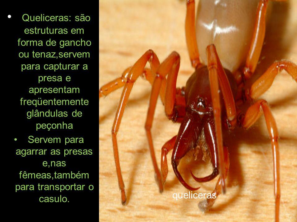 As quelíceras de uma aranha moderna, são usadas para capturar e mastigar a presa.A maioria das aranhas usam peçonha para matar suas vítimas.As quelíceras possuem duas estruturas pontiagudas e ocas(seringas).