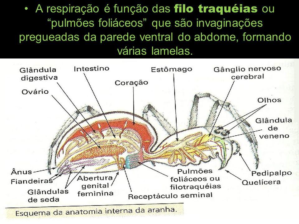 Sistema circulatório: conta com um coração na região dorsal do abdome,que bombeia sangue para um vaso(aorta) anterior ou,dependendo do tipo de artrópode,anterior e posterior.O sangue é conhecido como hemolinfa.