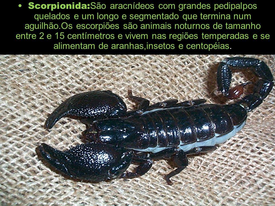 Scorpionida: São aracnídeos com grandes pedipalpos quelados e um longo e segmentado que termina num aguilhão.Os escorpiões são animais noturnos de tam