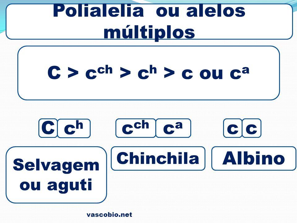 vascobio.net Polialelia ou alelos múltiplos C > c ch > c h > c ou c a C chch c ch caca cc Selvagem ou aguti Chinchila Albino