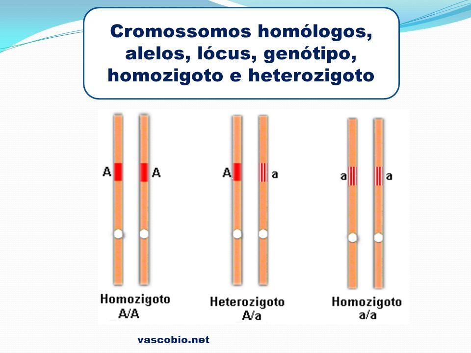 vascobio.net Cromossomos homólogos, alelos, lócus, genótipo, homozigoto e heterozigoto