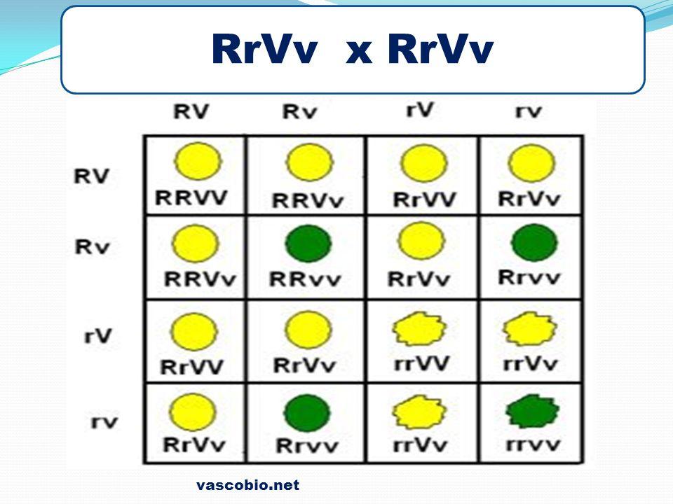 vascobio.net RrVv x RrVv