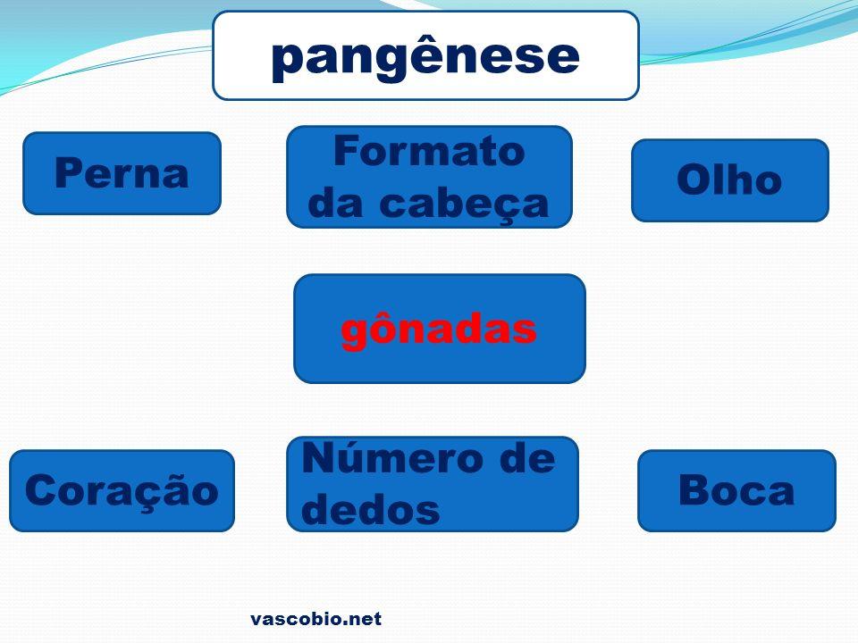 vascobio.net pangênese Formato da cabeça Perna gônadas CoraçãoBoca Olho Número de dedos