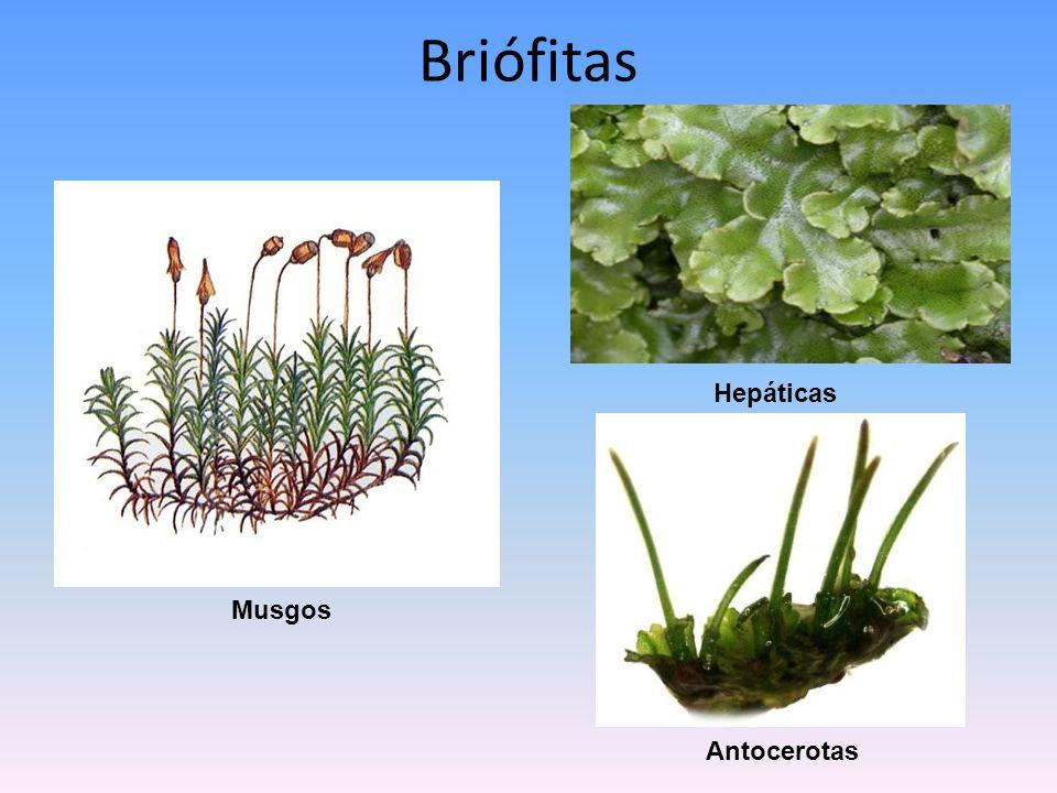 Briófitas Musgos Hepáticas Antocerotas