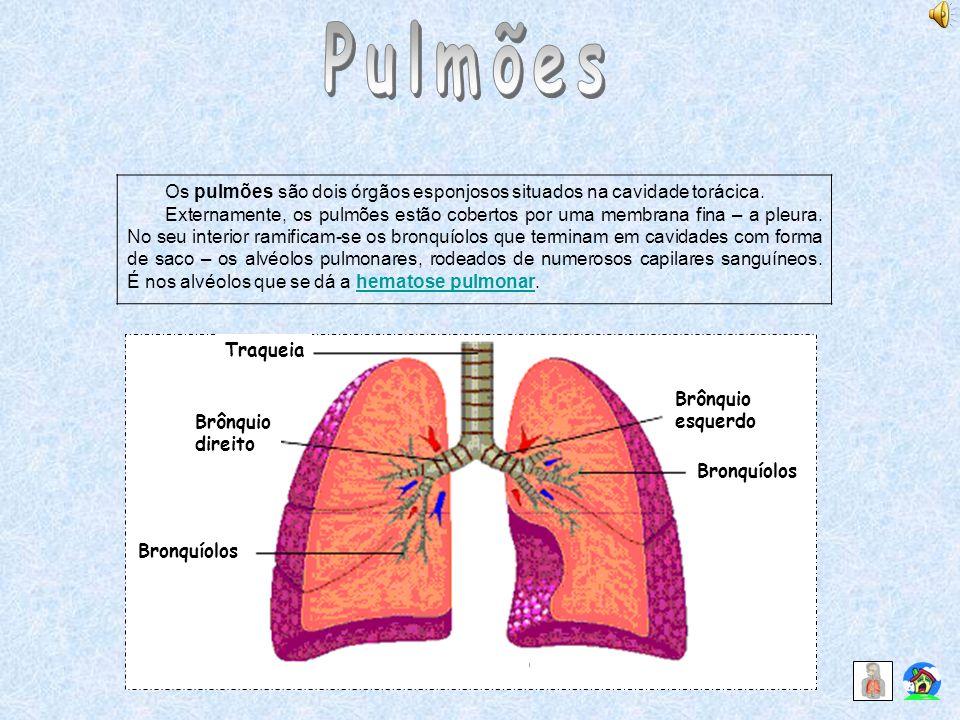 Os pulmões são dois órgãos esponjosos situados na cavidade torácica. Externamente, os pulmões estão cobertos por uma membrana fina – a pleura. No seu