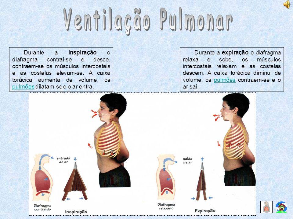 Durante a inspiração o diafragma contrai-se e desce, contraem-se os músculos intercostais e as costelas elevam-se. A caixa torácica aumenta de volume,