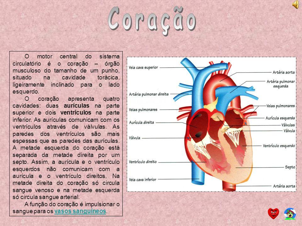 O motor central do sistema circulatório é o coração – órgão musculoso do tamanho de um punho, situado na cavidade torácica, ligeiramente inclinado par