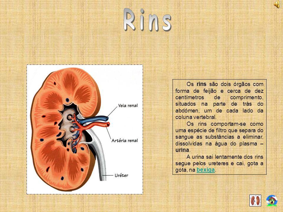 Os rins são dois órgãos com forma de feijão e cerca de dez centímetros de comprimento, situados na parte de trás do abdómen, um de cada lado da coluna
