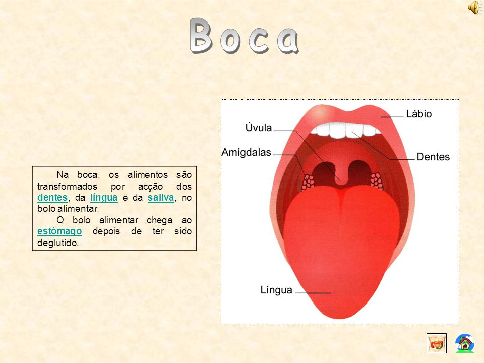 Na boca, os alimentos são transformados por acção dos dentes, da língua e da saliva, no bolo alimentar. denteslínguasaliva O bolo alimentar chega ao e