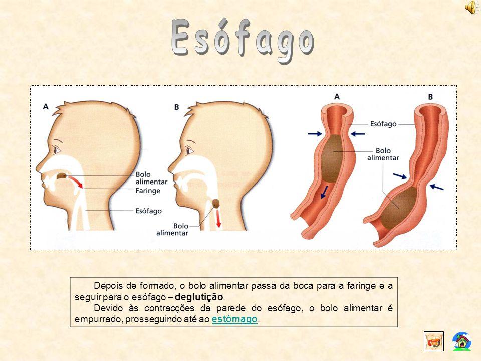 Depois de formado, o bolo alimentar passa da boca para a faringe e a seguir para o esófago – deglutição. Devido às contracções da parede do esófago, o