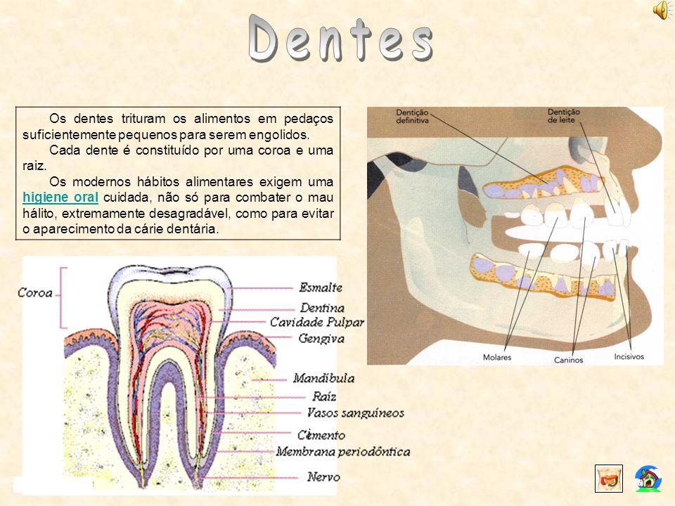 Os dentes trituram os alimentos em pedaços suficientemente pequenos para serem engolidos. Cada dente é constituído por uma coroa e uma raiz. Os modern