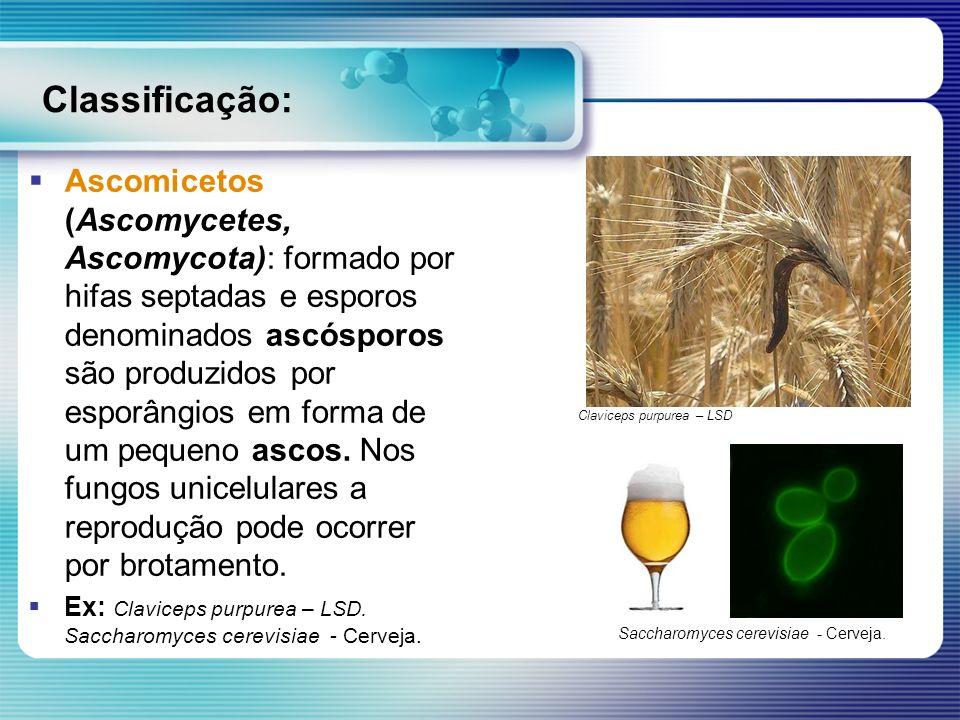 Classificação: Ascomicetos (Ascomycetes, Ascomycota): formado por hifas septadas e esporos denominados ascósporos são produzidos por esporângios em fo
