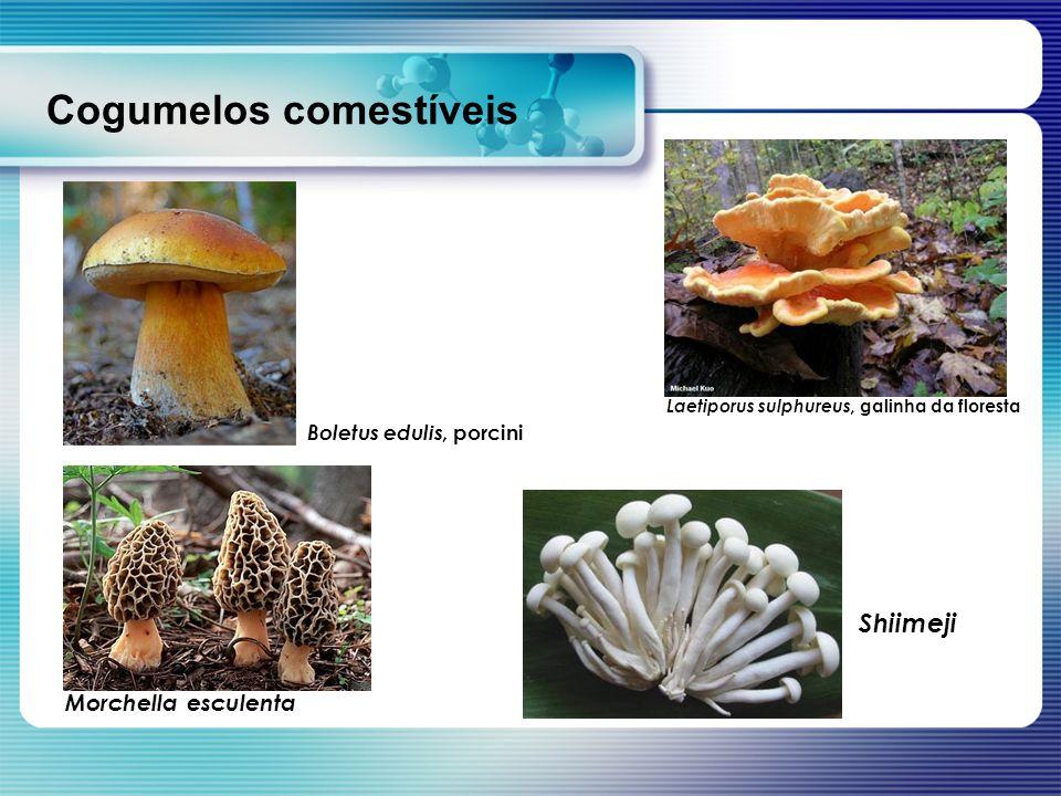 Cogumelos comestíveis Shiimeji Laetiporus sulphureus, galinha da floresta Morchella esculenta Boletus edulis, porcini