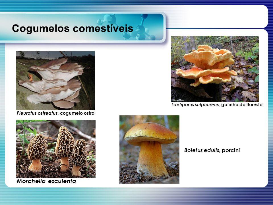 Cogumelos comestíveis Pleurotus ostreatus, cogumelo ostra Laetiporus sulphureus, galinha da floresta Morchella esculenta Boletus edulis, porcini