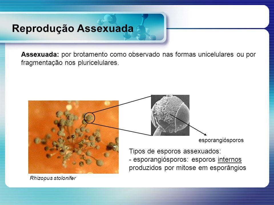 Reprodução Assexuada Tipos de esporos assexuados: - esporangiósporos: esporos internos produzidos por mitose em esporângios esporangiósporos Rhizopus