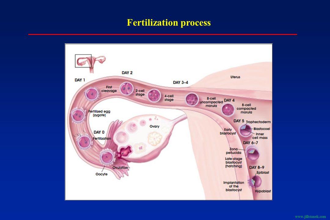 Fertilization process www.jillstanek.com
