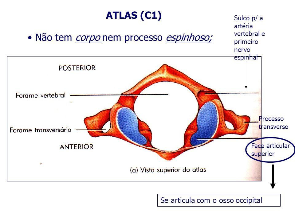 ATLAS (C1) Não tem corpo nem processo espinhoso; Face articular superior Processo transverso Sulco p/ a artéria vertebral e primeiro nervo espinhal Se