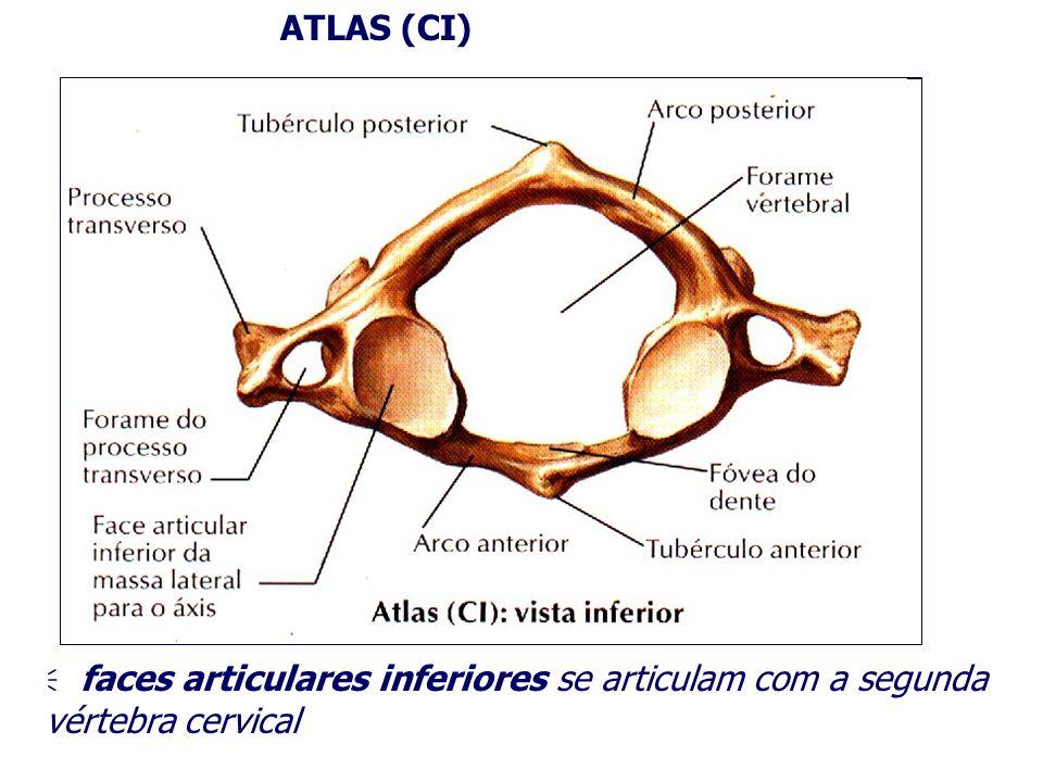 ATLAS (CI) faces articulares inferiores se articulam com a segunda vértebra cervical