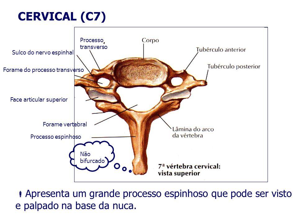 CERVICAL (C7) Apresenta um grande processo espinhoso que pode ser visto e palpado na base da nuca. Processo transverso Sulco do nervo espinhal Forame