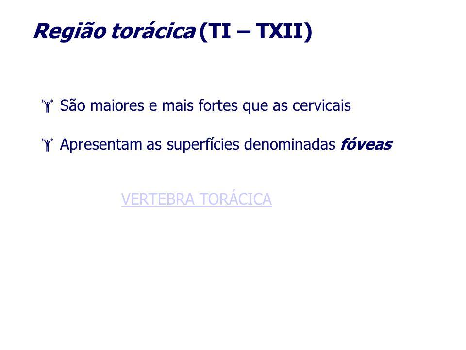 Região torácica (TI – TXII) São maiores e mais fortes que as cervicais Apresentam as superfícies denominadas fóveas VERTEBRA TORÁCICA