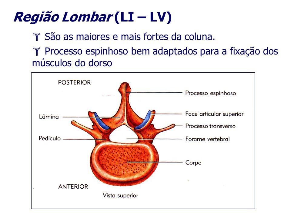 Região Lombar (LI – LV) São as maiores e mais fortes da coluna. Processo espinhoso bem adaptados para a fixação dos músculos do dorso