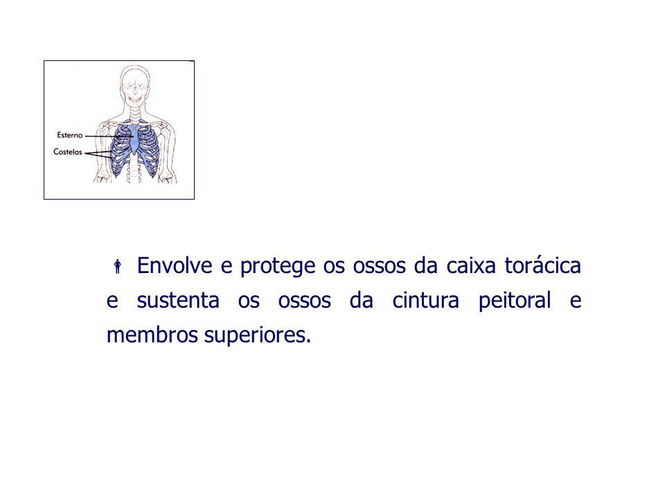 Envolve e protege os ossos da caixa torácica e sustenta os ossos da cintura peitoral e membros superiores.