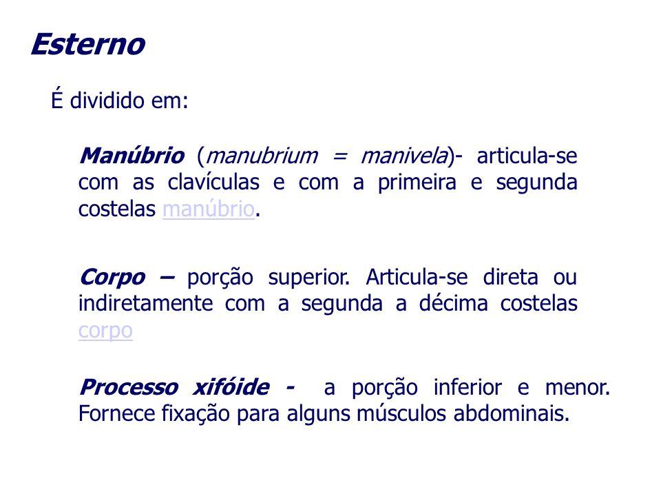 Esterno É dividido em: Manúbrio (manubrium = manivela)- articula-se com as clavículas e com a primeira e segunda costelas manúbrio.manúbrio Corpo – po