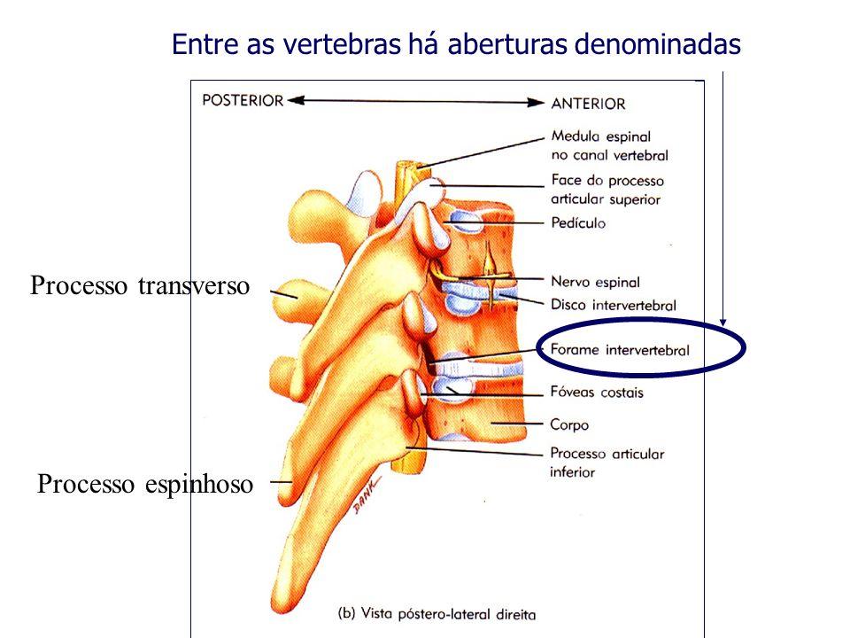 Entre as vertebras há aberturas denominadas Processo transverso Processo espinhoso