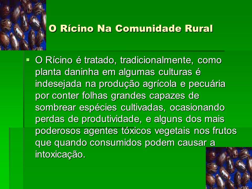 O Rícino Na Comunidade Rural O Rícino Na Comunidade Rural O Rícino é tratado, tradicionalmente, como planta daninha em algumas culturas é indesejada n