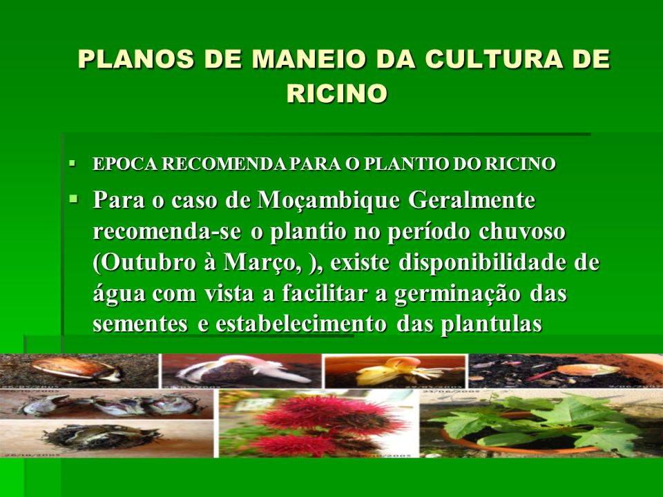 PLANOS DE MANEIO DA CULTURA DE RICINO PLANOS DE MANEIO DA CULTURA DE RICINO EPOCA RECOMENDA PARA O PLANTIO DO RICINO EPOCA RECOMENDA PARA O PLANTIO DO