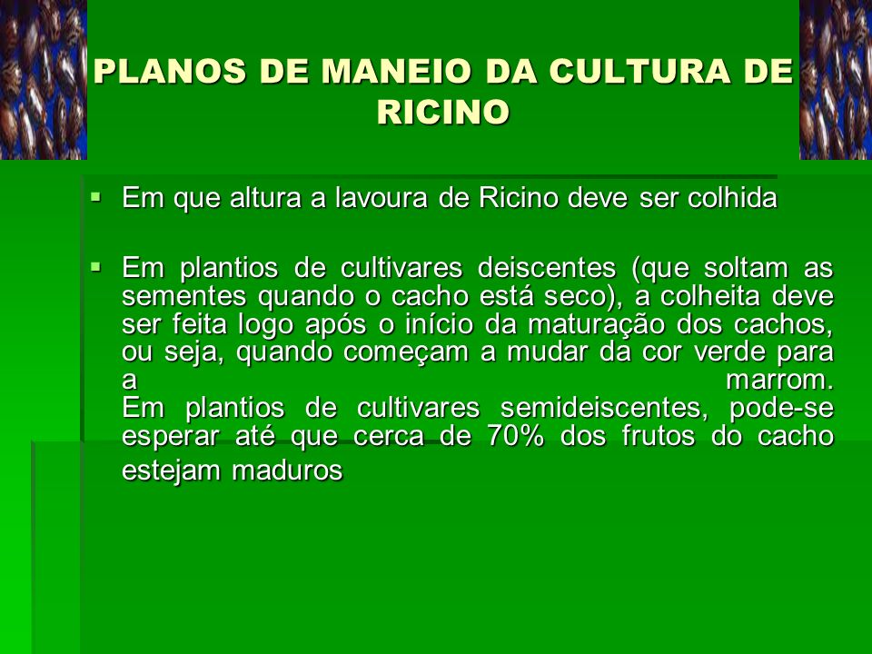 PLANOS DE MANEIO DA CULTURA DE RICINO Em que altura a lavoura de Ricino deve ser colhida Em que altura a lavoura de Ricino deve ser colhida Em plantio