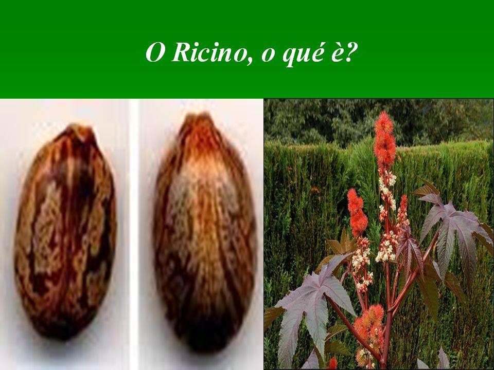 PLANOS DE MANEIO DA CULTURA DE RICINO O que são híbridos de Rícino O que são híbridos de Rícino Híbridos são plantas resultantes do cruzamento de duas linhas puras cujas plantas são geneticamente uniformes.