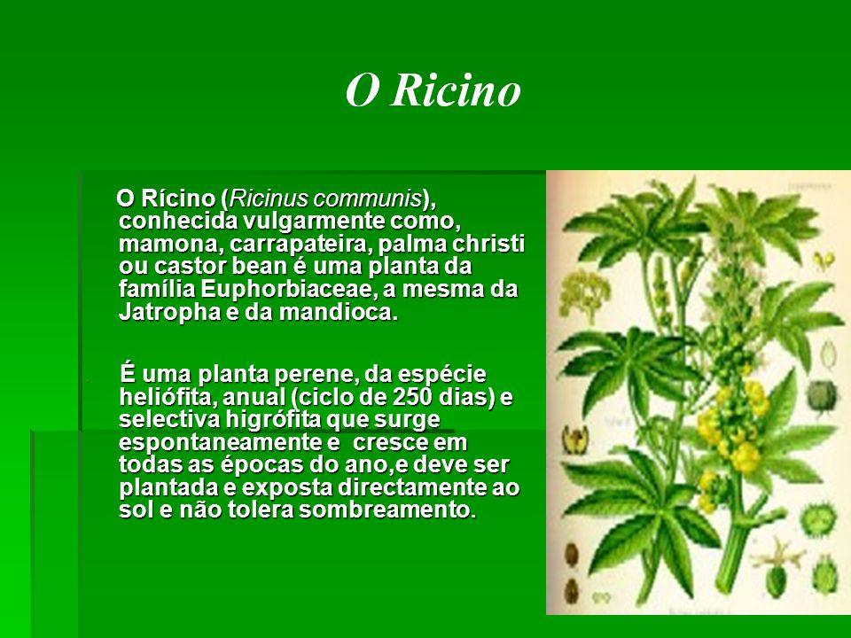 O Rícino (Ricinus communis), conhecida vulgarmente como, mamona, carrapateira, palma christi ou castor bean é uma planta da família Euphorbiaceae, a m