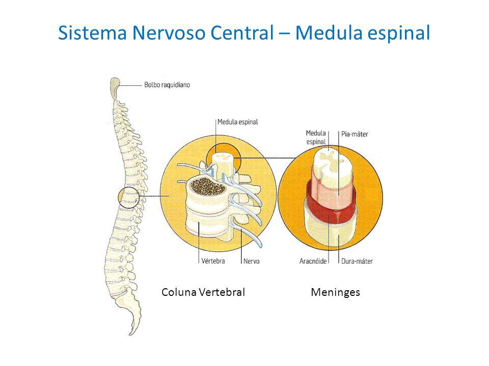 Sistema Nervoso Central – Medula espinal Coluna VertebralMeninges