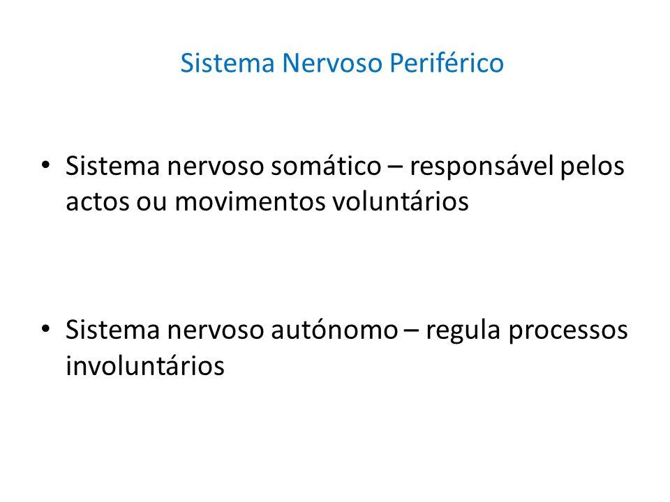 Sistema nervoso somático – responsável pelos actos ou movimentos voluntários Sistema nervoso autónomo – regula processos involuntários Sistema Nervoso