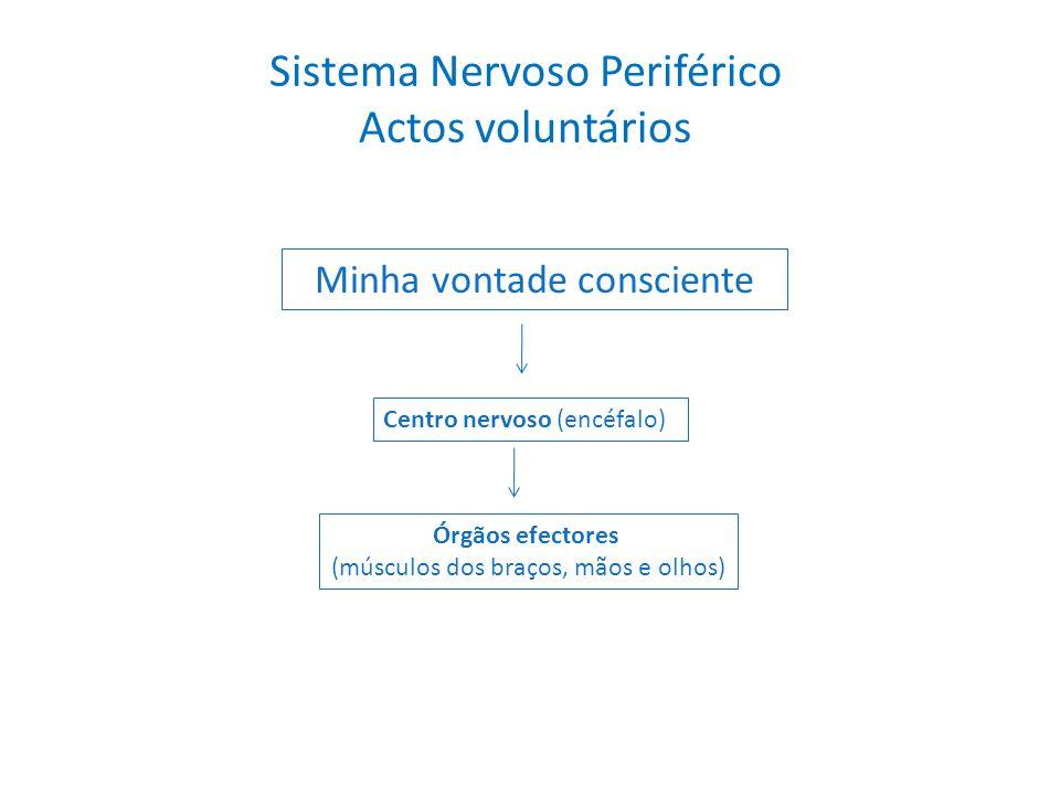 Sistema Nervoso Periférico Actos voluntários Minha vontade consciente Centro nervoso (encéfalo) Órgãos efectores (músculos dos braços, mãos e olhos)