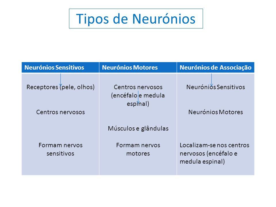 Tipos de Neurónios Neurónios SensitivosNeurónios MotoresNeurónios de Associação Receptores (pele, olhos) Centros nervosos Formam nervos sensitivos Cen