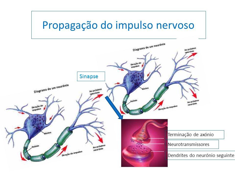 Propagação do impulso nervoso Terminação de axónio Dendrites do neurónio seguinte Neurotransmissores Sinapse