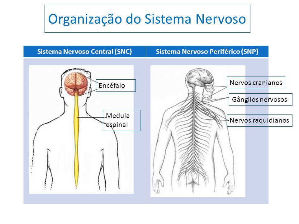 Organização do Sistema Nervoso Sistema Nervoso Central (SNC)Sistema Nervoso Periférico (SNP) Encéfalo Medula espinal Nervos cranianos Gânglios nervoso