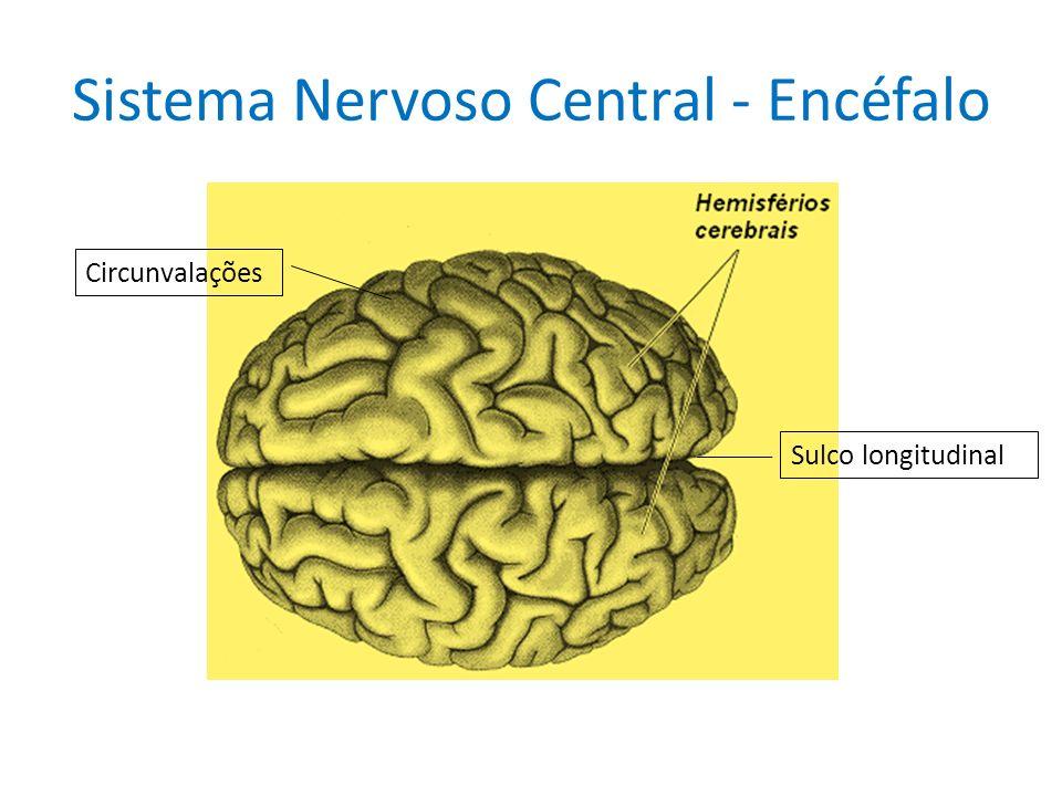 Sistema Nervoso Central - Encéfalo Circunvalações Sulco longitudinal