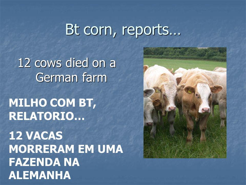 Bt corn, reports… 12 cows died on a German farm MILHO COM BT, RELATORIO… 12 VACAS MORRERAM EM UMA FAZENDA NA ALEMANHA